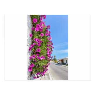 Hanging pink spanish daisies on wall near street postcard