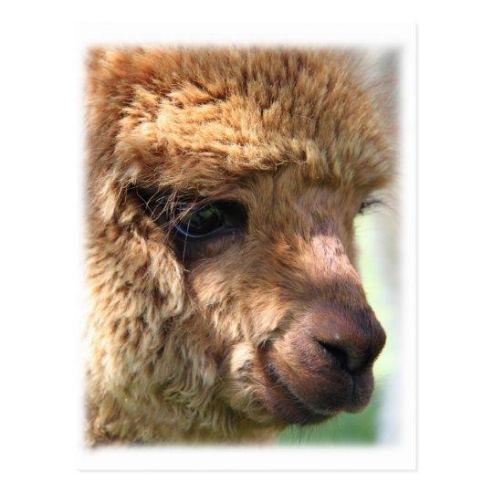 Hannah Alpaca Postcard