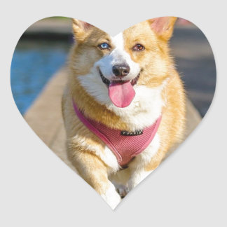 Happy Cute Blue and Brown eyed corgi panting Heart Sticker