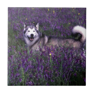 Happy husky dog tile