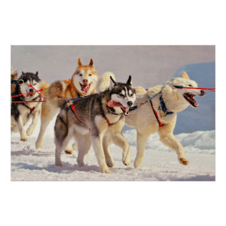Happy Sled Dogs Marching On with Tongues Out Poster