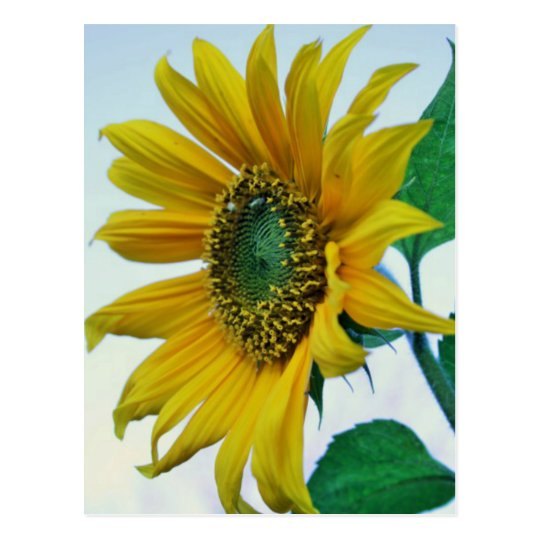 Happy Sunflower Postcard