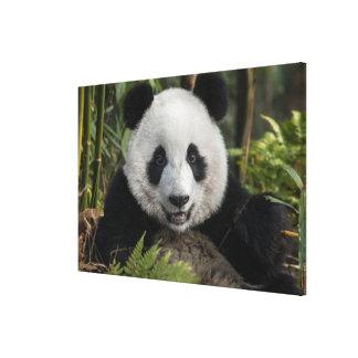 Happy young panda, China Canvas Print