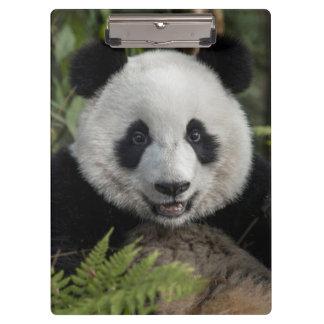 Happy young panda, China Clipboard
