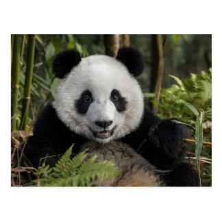 Happy young panda, China Postcard