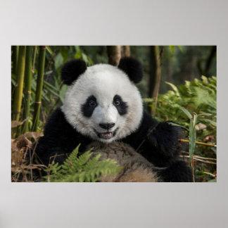 Happy young panda, China Poster