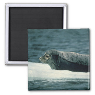 Harbor Seal Refrigerator Magnets