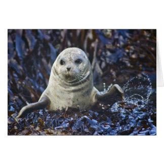 Harbor Seal (Phoca vitulina) Card