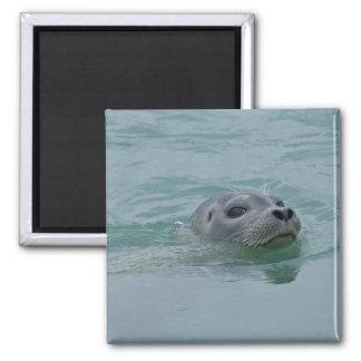 Harbor Seal swimming in Jokulsarlon glacial lake Square Magnet