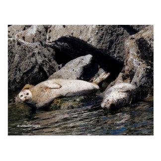 Harbor Seals Basking in the Summer Sun Postcard