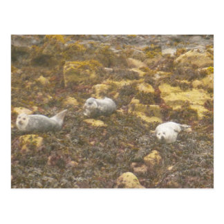 Harbour Seals Postcard