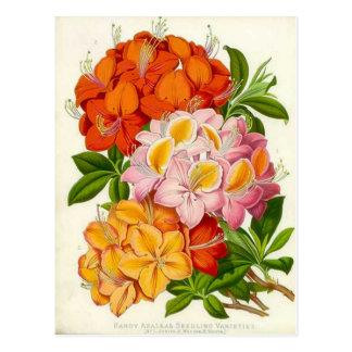 Hardy Azaleas by Sir Joseph Paxton Postcard