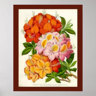 Hardy Azaleas by Sir Joseph Paxton Poster