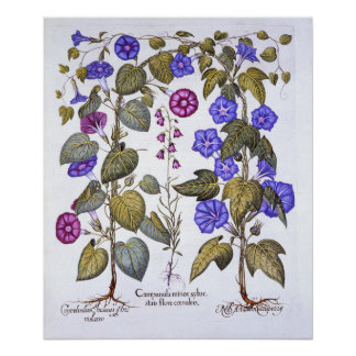 Harebell and Convovulus Poster