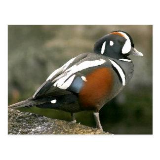 Harlequin Duck (drake) Postcard