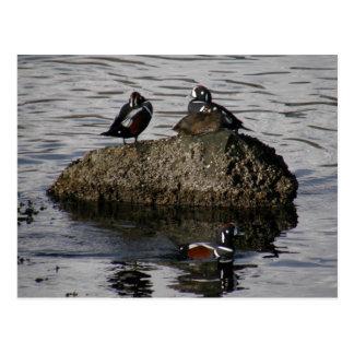 Harlequin Ducks, Unalaska Island Postcard