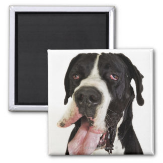 Harlequin Great Dane, close-up on white Square Magnet