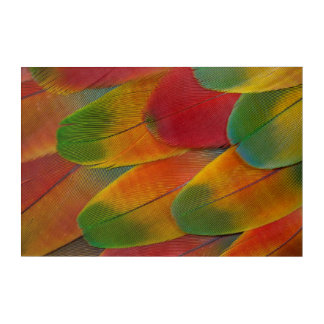 Harlequin Macaw parrot feathers Acrylic Print