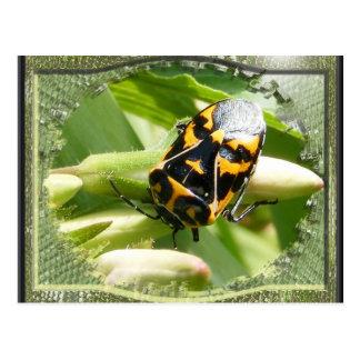 Harlequin stink bug ~ postcard