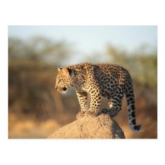 Harnas Wildlife Sanctuary, Namibia Postcard
