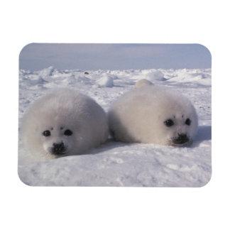 Harp seal (Phoca groenlandica) Harp seal pups Rectangular Photo Magnet