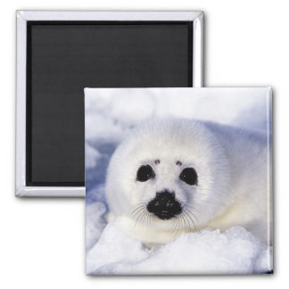 Harp seal pup ice Gulf of St. Lawrence, Magnet