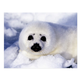Harp seal pup ice Gulf of St. Lawrence, Postcard