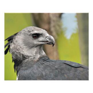 Harpy Eagle Photographic Print