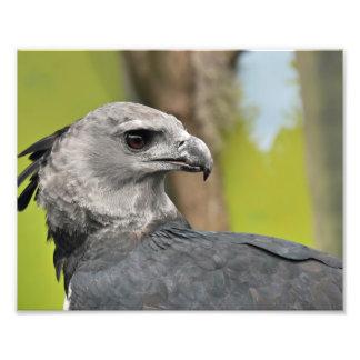 Harpy Eagle. Photo Print