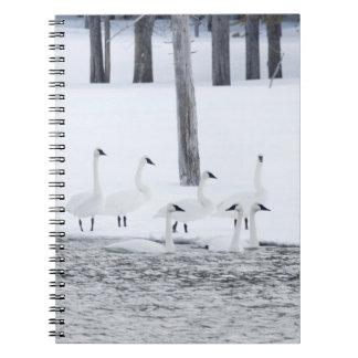 Harriman State Park, Idaho. USA. Trumpeter Swans Spiral Note Book