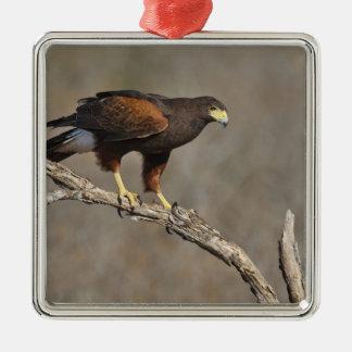 Harris's Hawk perched raptor Silver-Colored Square Ornament
