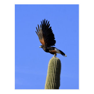 Harris's Hawk taking flight Postcard