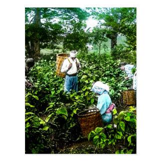 Harvesting Green Tea Leaves Old Japan Farmers Postcard