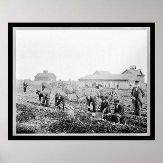Harvesting Potatoes at Claflin University 1900 Poster