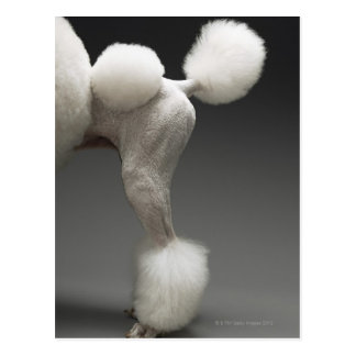 Haunches of Poodle, on grey background Postcard