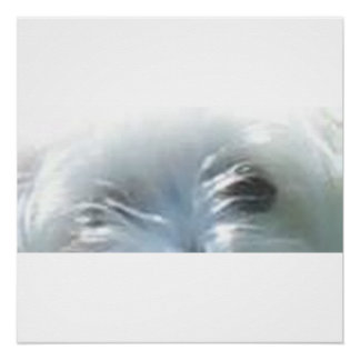 havanese eyes perfect poster