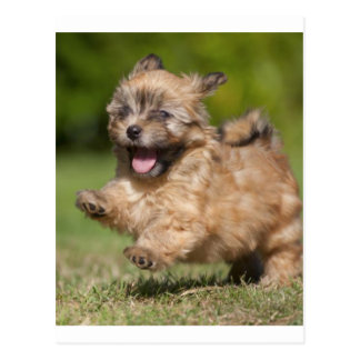 Havanese Puppy Gallops Across The Grass Postcard