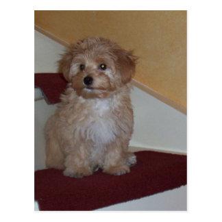 havanese puppy.png postcard