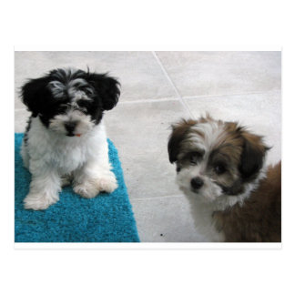 Havanese Rescue Puppies Black White Gray Postcard