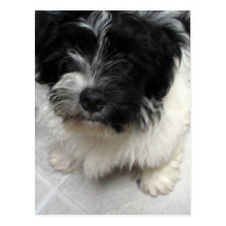 Havanese Rescue Puppy black and white Postcard