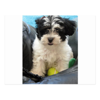 Havanese Rescue Puppy Black White Postcard