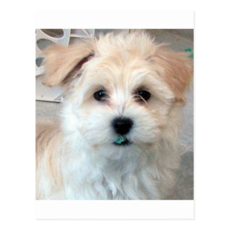 Havanese Rescue Puppy Tan funny green 'tooth' Postcard