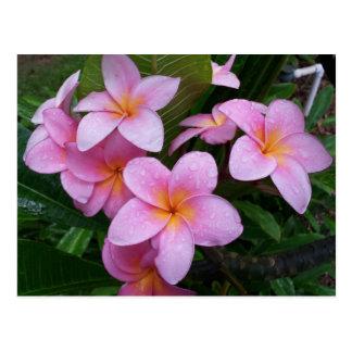 Hawaii Pink Plumeria Flowers Postcard