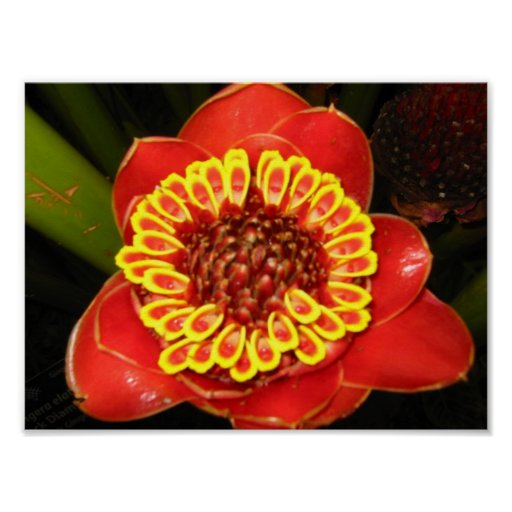 Hawaii Torch Ginger Poster