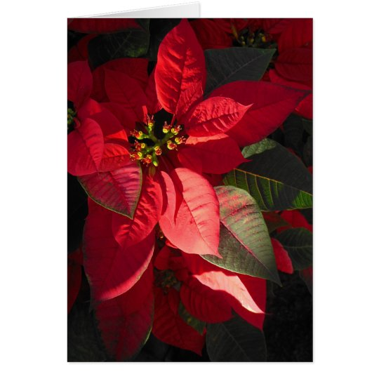 Hawaiian Poinsettia Card