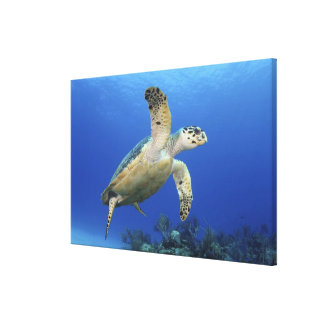 Hawksbill Sea Turtle Stretched Canvas Prints