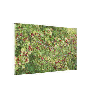 Hawthorn Photo B Canvas Print