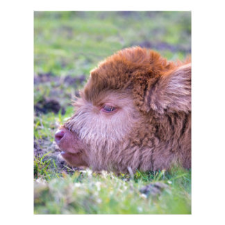 Head of brown newborn scottish highlander calf letterhead
