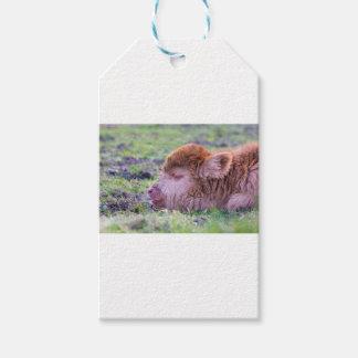 Head of brown newborn scottish highlander calf pack of gift tags