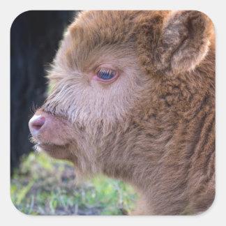 Head of Brown newborn scottish highlander calf Square Sticker